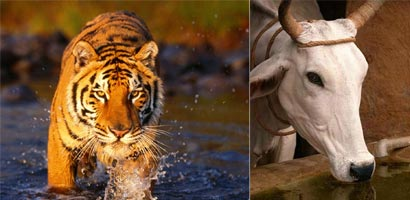 Cow kills Tiger in Tamil Nadu