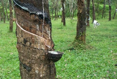 raw rubber Sri Lanka