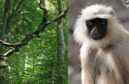 White Monkey in Sinharaja forest