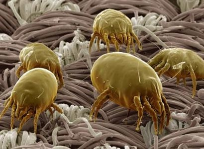 Dust mites on more mobile phones