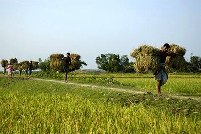 Arsenic in Bangladeshi rice like in Sri Lanka