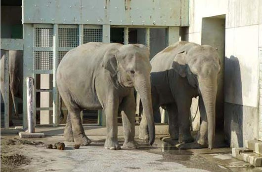 The two Sri Lankan elephants Anula and Kosala following the birth of the baby elephant.