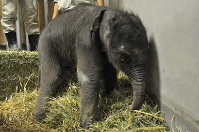 The two Sri Lankan elephants Anula and Kosala following the birth of the baby elephant.
