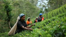 Tea picker worker at tea estate in Sri Lanka