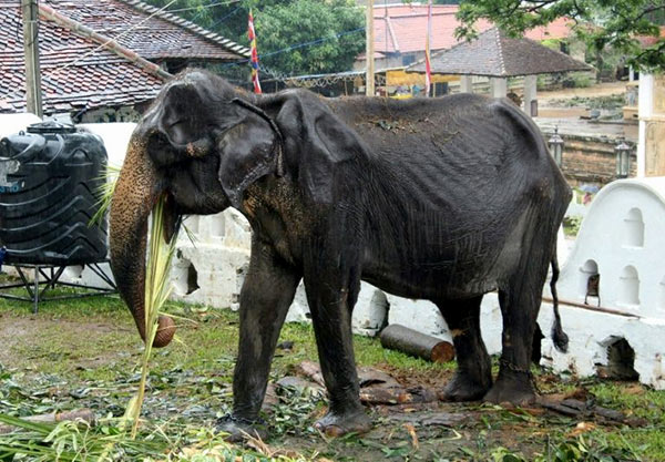 Tikiri elephant in Sri Lanka