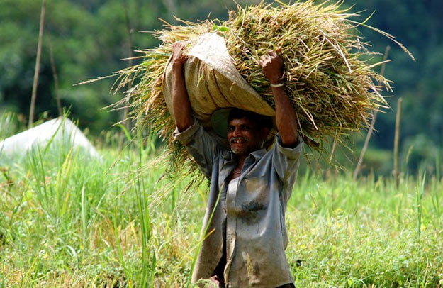 Paddy farmer in Sri Lanka