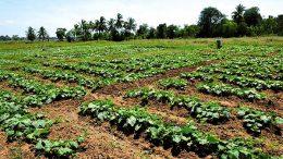 Vegetable cultivation in Sri Lanka