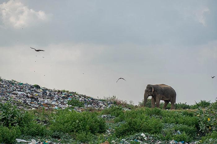 Elephants eat garbage in Sri Lanka