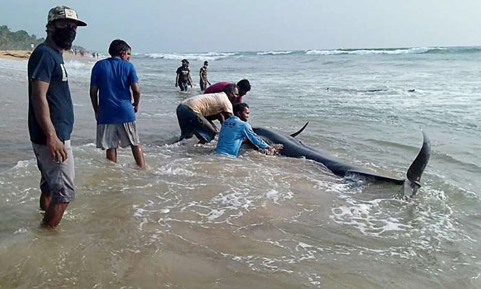 100 whales stranded on Sri Lanka's western coast are saved by rescuers and volunteers