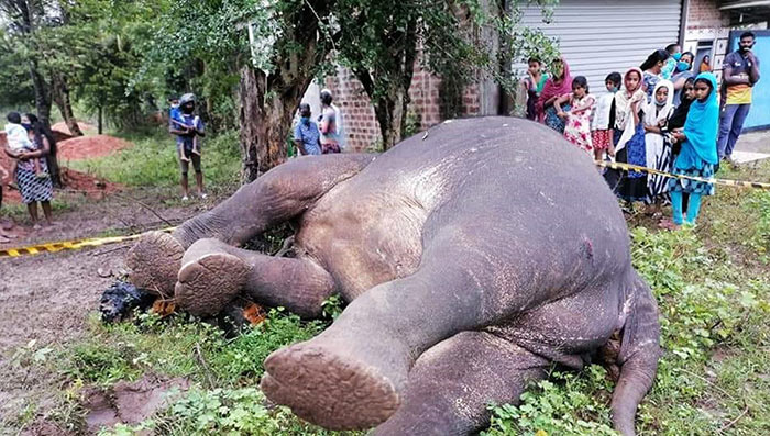 Police officer kills wild elephant in Kahatagasdigiliya Sri Lanka