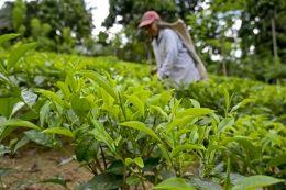 Tea crops in Sri Lanka